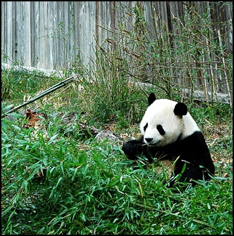 パンダの画像3