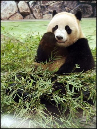パンダの画像2