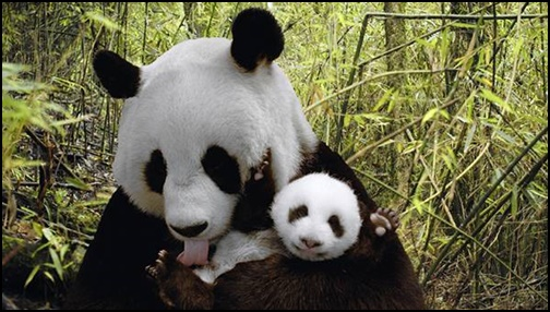パンダの画像4